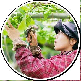2.減農栽培で一つ一つを丁寧に栽培